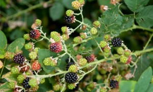 Boulder Creek Blackberries